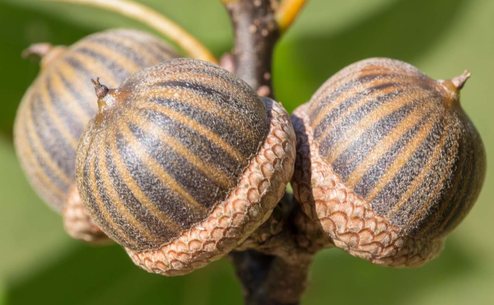 12 PIN OAK ACORNS Quercus palustris